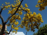 yellow tree pops up next to my favorite taco stand (tacofish la paz)